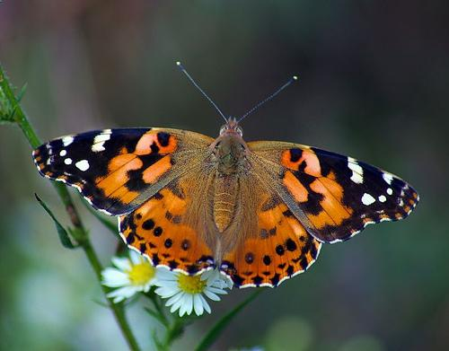 painted-lady-butterflies-for-release