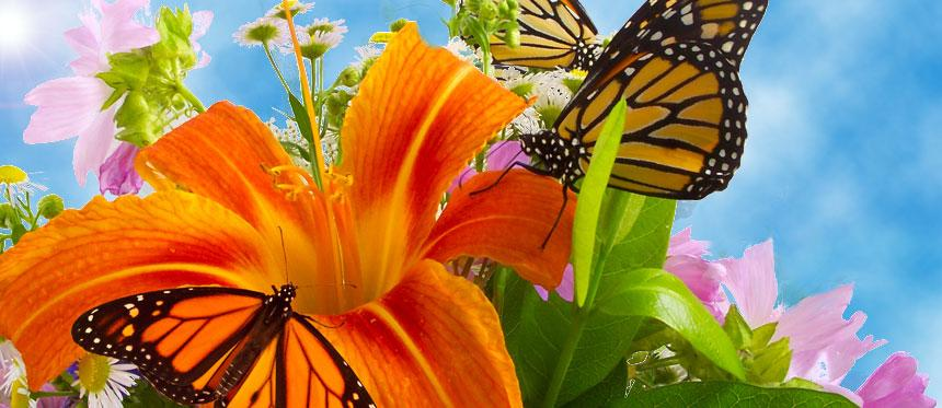 Download 12 Monarch butterflies with Free envelopes - Wedding Live ...