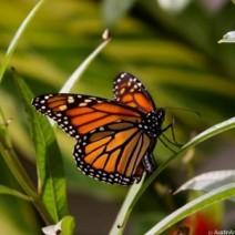 live-butterflies-mass-release