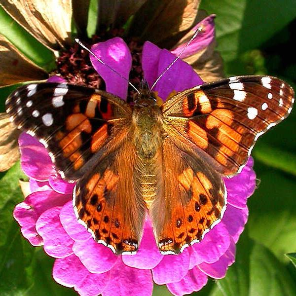 live-painted-lady-butterfly-for-release