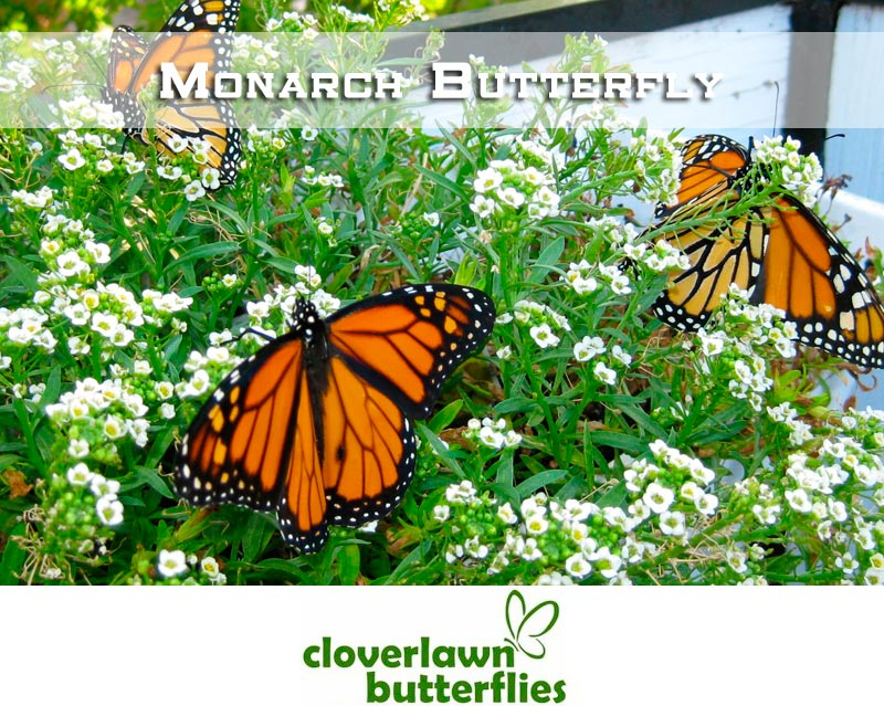 Monarch Butterflies - Buy Butterflies to release from Cloverlawn Butterflies