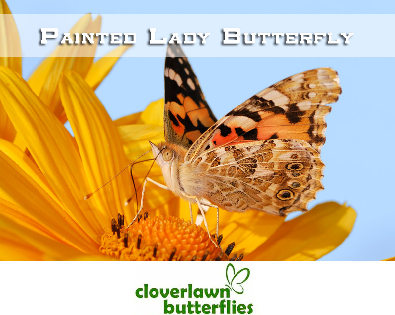 Painted Ladies Butterflies - Buy Painted Lady Butterflies for a butterfly release wedding from Cloverlawn Butterflies