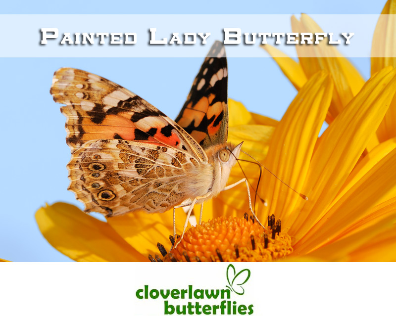 Painted Ladies Butterfly - Buy Painted Lady Butterflies for a butterfly release for wedding from Cloverlawn Butterflies