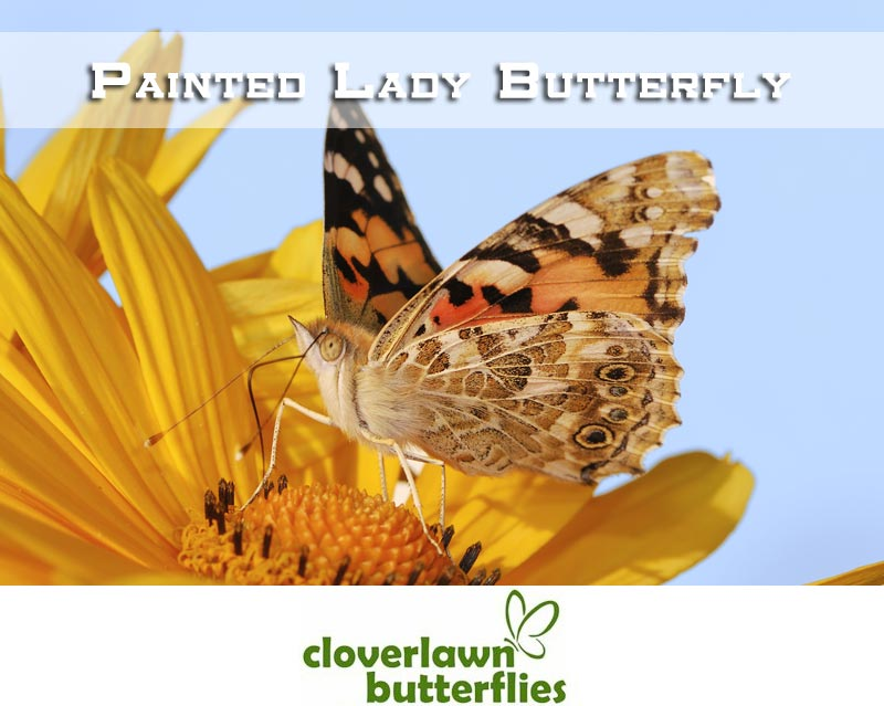 Painted Lady Butterflies - Buy Painted Lady Butterflies for release at wedding ceremonies from Cloverlawn Butterflies