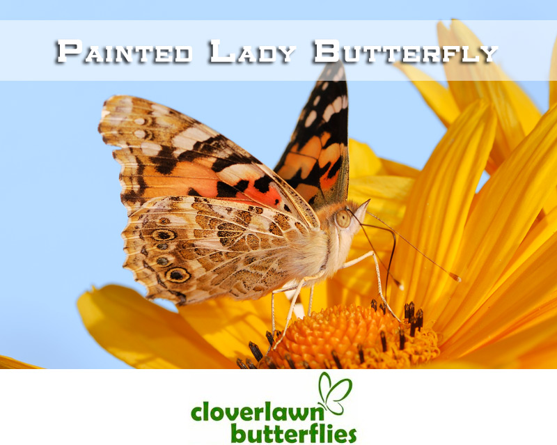 Painted Lady Butterfly - Buy Painted Lady Butterflies for a wedding butterfly release from Cloverlawn Butterflies
